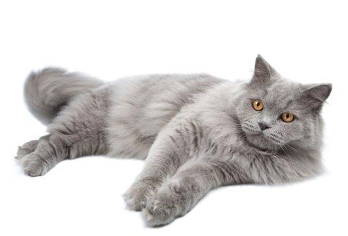 Сибирская кошка 30 фото описание породы характер