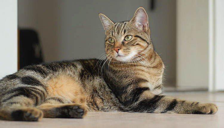 Европейская домашняя кошка, европейская короткошерстная кошка фото