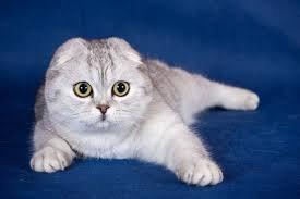 коты британцы фото вислоухие цена